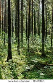 forest background karelia forest trees stock photo 601970732