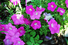 petunia flowers pictures of flowers petunia