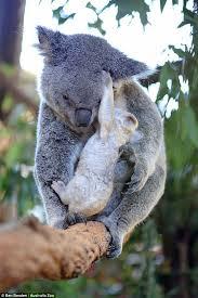white koala joey australia zoo daily