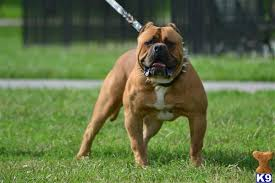 american pitbull terrier illegal top 10 banned dog breeds that are really dangerous unique facts