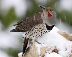 northern flicker audubon field guide