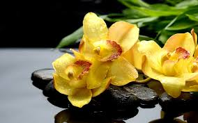 Yellow Orchid Yellow Orchids Hd Desktop Wallpapers 4k Hd