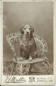 c 1890 cabinet card of sweet dog sitting in photographer u0027s fancy