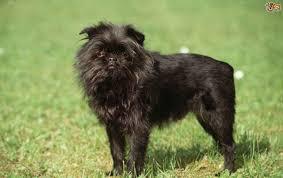 affenpinscher animal planet affenpinscher dog breed information buying advice photos and