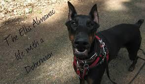boxer dog uncontrollable head shaking the elka almanac doberman health idiopathic head tremors
