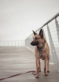 lifespan of belgian shepherd belgian malinois cool belgian malinois pics taken by