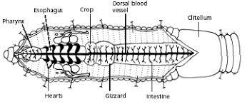 bentonzoology earthworm dissection