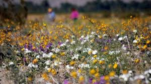 anza borrego super bloom anza borrego go time for bloom time nbc 7 san diego