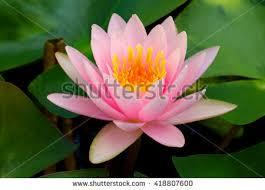 Lotus Flower Bloom - beautiful lotus flower symbol buddha thailand stock photo