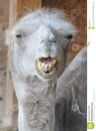 Bad Teeth Meme - funny camel with bad teeth stock image image of dromedary 32239915