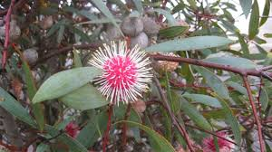 Pin Cushion Tree Nature In The City