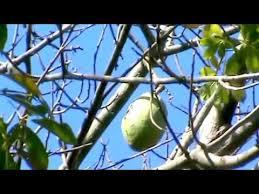 zylstra china1800 fruit bouquets silk floss tree ceiba speciosa ou chorisia speciosa