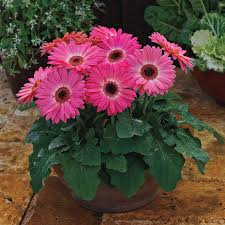 gerbera daisies majorette pink halo gerbera seeds from park seed
