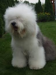 belgian sheepdog nc old english sheepdog puppies breed information u0026 puppies for sale