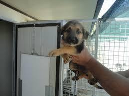 cani in cerca di casa cuccioli in cerca di casa al rifugio di colle altino