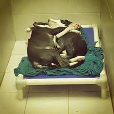 Pictures Of Blind Dogs Pit Bull Puppy Acts As Guide Dog For His Blind Brother As The