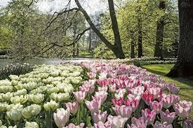 tulips reign supreme keukenhof honors van gogh at 66th season