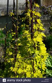 humulus aureus golden hop new growth yellow leaves foliage climb