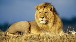 lion animal 208937 walldevil