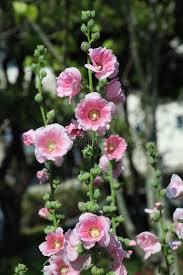 Hollyhock Flowers Hollyhock Flower Alcea Rosea Stock Photos Image 36158313