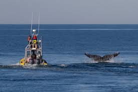 whale watch finds entangled right whale off provincetown news