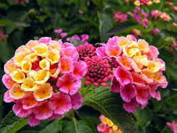 lantana attracts butterflies and likes full sun the petals deepen
