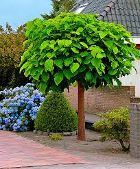 perennial catalpa seeds bonsai tree seeds very beautiful indoor
