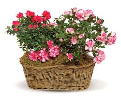 blooming plants blooming plants claudia s florist gifts