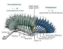 Bird Wing - human anatomy bird wing anatomy feathers external primaries