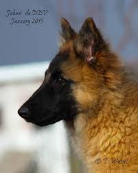belgian shepherd ohio intention hill belgian shepherds blackbelly sheep