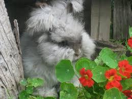 67 angora rabbits u0026 alpaca images rabbits