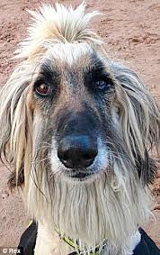 afghan hound lady and the tramp rod stewart has some similarities with the newly named pooch rod