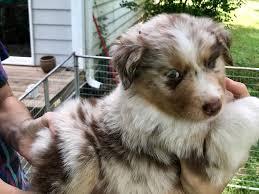 australian shepherd owners mark gee australian shepherd puppies for sale