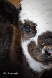 rmphotography baby calf cutest sheep goats u0026 cows pinterest