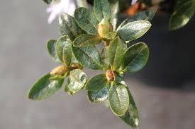 Aza Bad Zwischenahn Rhododendron Impeditum U0027moerheim U0027 Lubera Ch