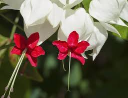bleeding hearts flowers bleeding hearts flower meaning plant facts