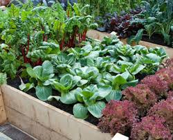 garden soils and vegetable selection in north texas covingtons