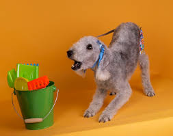bedlington terrier shaved rickydog