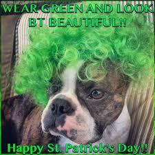 Boston Terrier Meme - boston terrier beauty on st patrick s day a meme for the green