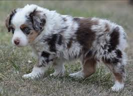 australian shepherd 6 weeks ghost eye mini aussies avail litter 2 hip pup2 red tri male