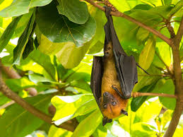 As Blind As A Bat Meaning Kitti U0027s Hog Nosed Bat Or Bumblebee Bat Bat Facts And Information
