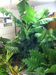easy plants how to store elephant ears and other tropical bulbs garden org