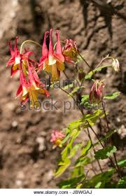 Columbine Plant Yellow Red Flowers Columbine Stock Photos U0026 Yellow Red Flowers