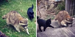 Blind Dog And Friend Raccoon Brought Kittens To His Human Friend And Saved Their Lives