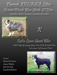 australian shepherd kennel club planned litter u2013 blissed out australian shepherds