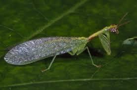 praying mantis what s bugging you