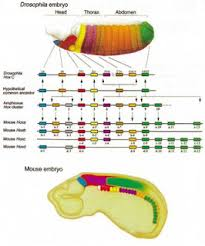 evolutionary developmental biology wikipedia