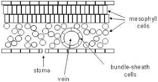 photosynthesis biology libretexts