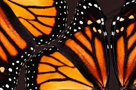 orange monarch butterfly wings fabric bonnie phantasm spoonflower