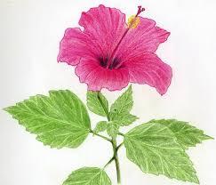 Vase Of Flowers Drawing Hibiscus Flowers Drawing Tutorial